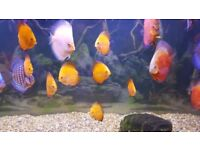 Young Marlboro discus fish