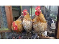 Free - Friendly Pekin Cockerels Looking For New Homes
