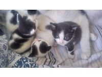 Adorable black and white kittens for sale