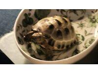 horsfield tortoise missing