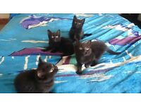 4 Beautiful black kittens 8 weeks old