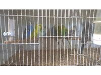 20 Budgies, lots of colours. only £199.