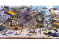 Malawi African Cichlids Beautiful Colour £1.50 to £12