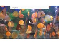 tropical fish for sale, discus