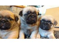 Shug Puppies