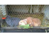 French lop rabbits for sale