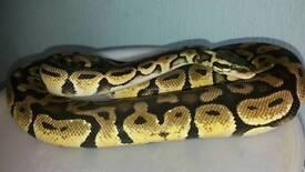 Pastel Royal Python (female)