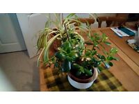 JADE PLANT AND SPIDER PLANT