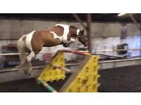 15.2 coloured gelding 7 year old