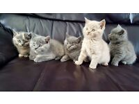 BEAUTIFUL BRITISH SHORTHAIR KITTENS FOR SALE!