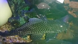 12 inch pleco for sale