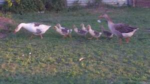 Gaggle of Geese Beenleigh Logan Area Preview