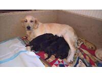 Golden retriever x poodle