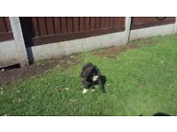 Lurcher pups fore sale