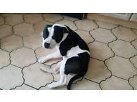 Staffie cross amrican bulldog