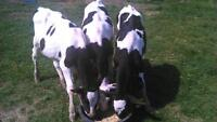 three 4 month old holstein steers
