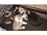 British bulldog puppies for sale!