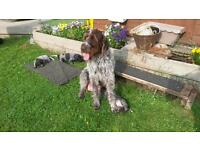German wirehaired pointer puppies - KC Registered