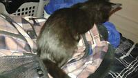 female, black kittens FREE