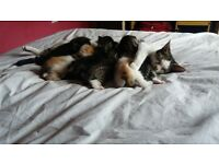 6 lovely kittens ready in three weeks