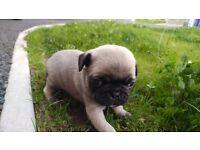 Kc reg pug pups 4 males left £750