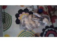 House Rabbit for adoption