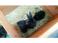 Velvet Rex baby rabbits