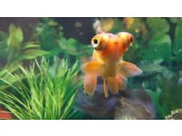 2 goldfish. 1 oranda and 1 orange moor