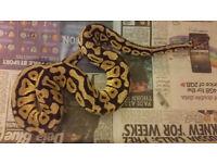 Male Pastel Spotnose 2012 ball python snake