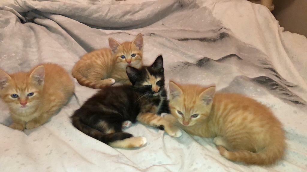 Kittens for sale   in Walnut Tree, Buckinghamshire   Gumtree
