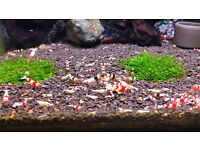 Crystal red, black, golden bee Shrimp mix