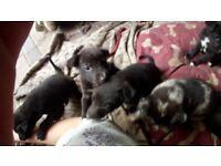 Collie whippet greyhound lurcher puppies