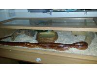 5ft corn snake