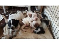 7 staffordshire bull terrier puppies