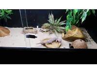 Beautiful baby snow leopard geckos to good home