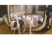 Ready for rehoming next week- chunky american bulldog x puppies