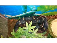 Black Rat Snake, approx 5ft with terrarium, heat mat and heat lamp.