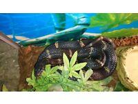 Black Rat Snake, approx 5ft with terrarium, heat mat and heat lamp.