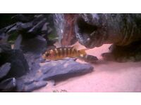 Bumble Bee Cichlid Tropical fish