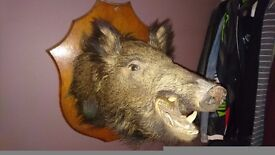 Vintage Boar Head 1930's