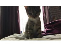 Playful Taby Kitten