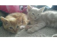 kittens ready for loving forever homes 2 ginger males and 1 black/white female £120