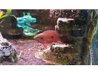 Pair of juvel, firemouth, T-bar cichlid