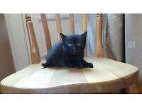 Beautiful Male kitten for sale.