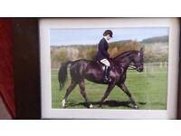 Stunning dressage mare