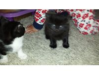 8 WEEKS OLD KITTENS FOR ADOPTION