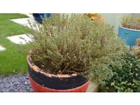 THYME PLANT - in large pot