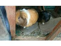 2 male long haired Guinea pig's with large hutch and indoor cage
