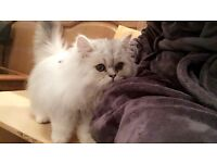 Beautiful persian chinchilla kitten pedigree with certifcate and full package included