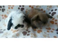 Beautiful pure mini lop baby rabbits